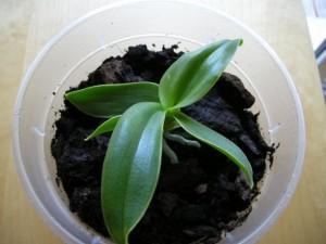 Junge Orchidee von oben.