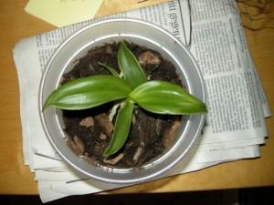Orchidee mit immer dickeren Wurzeln